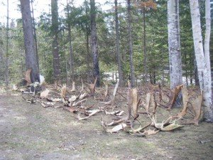 Spring Moose Angler Hunt