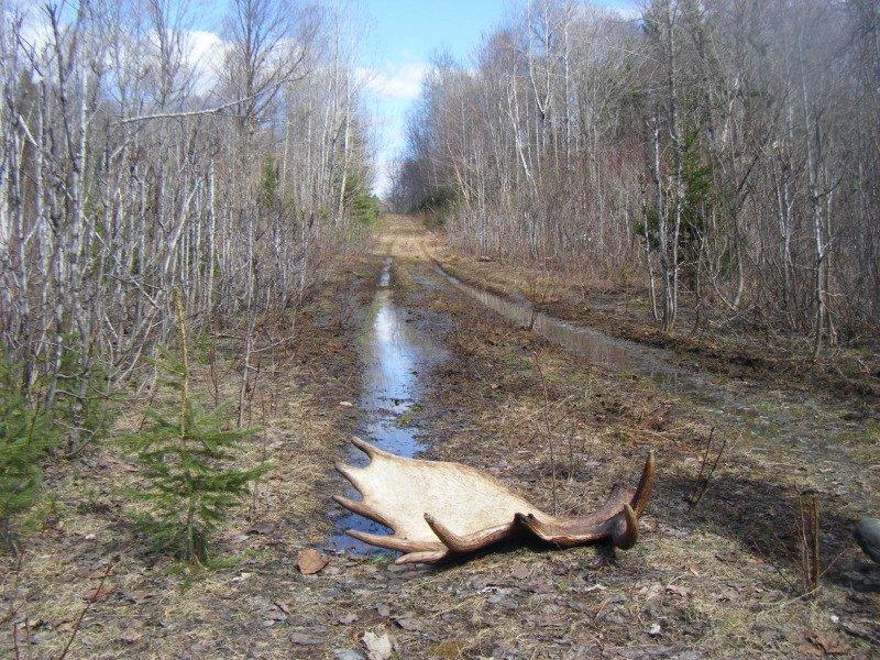 Spring Moose Shed Hunting Allagash Guide Service