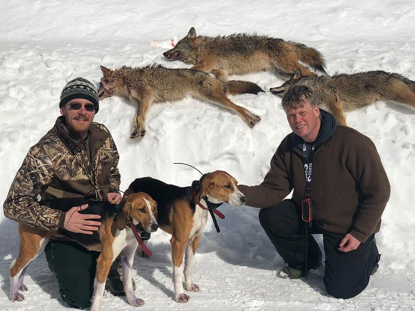 Maine Coyote Hunting with Hounds